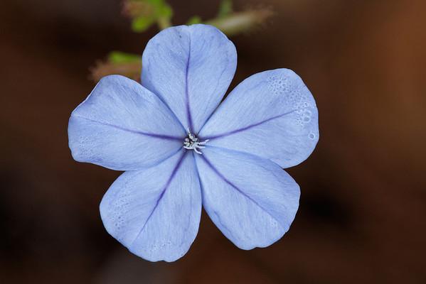 Blue plumbago (Plumbago auriculata)