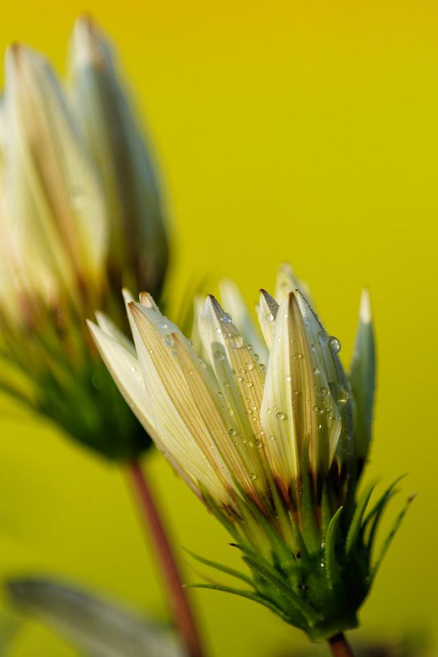 Treasure flowers (Ganzania rigens)
