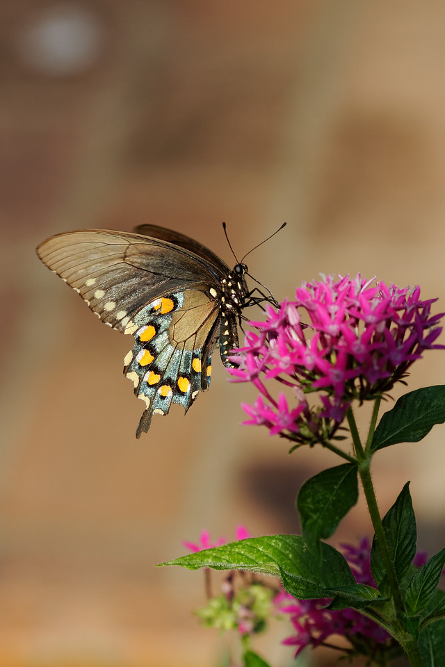 Pipevine swallowtail (Battus philenor) on star flower (Pentas lanceolata)
