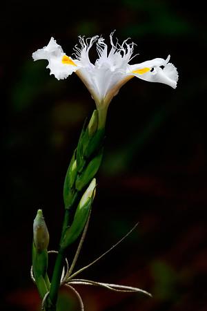 Iris 'Nada' - butterfly iris (I. japonica x I. wattii or confusa)