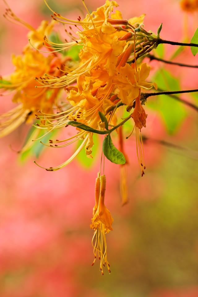 Wild azalea (Rhododendron austrinum)