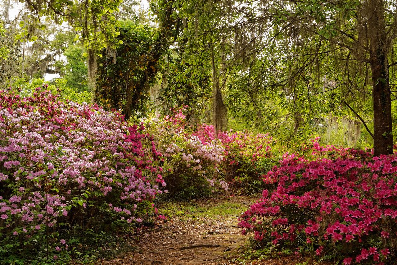 Spring azalea bloom on a path in the Gardens
