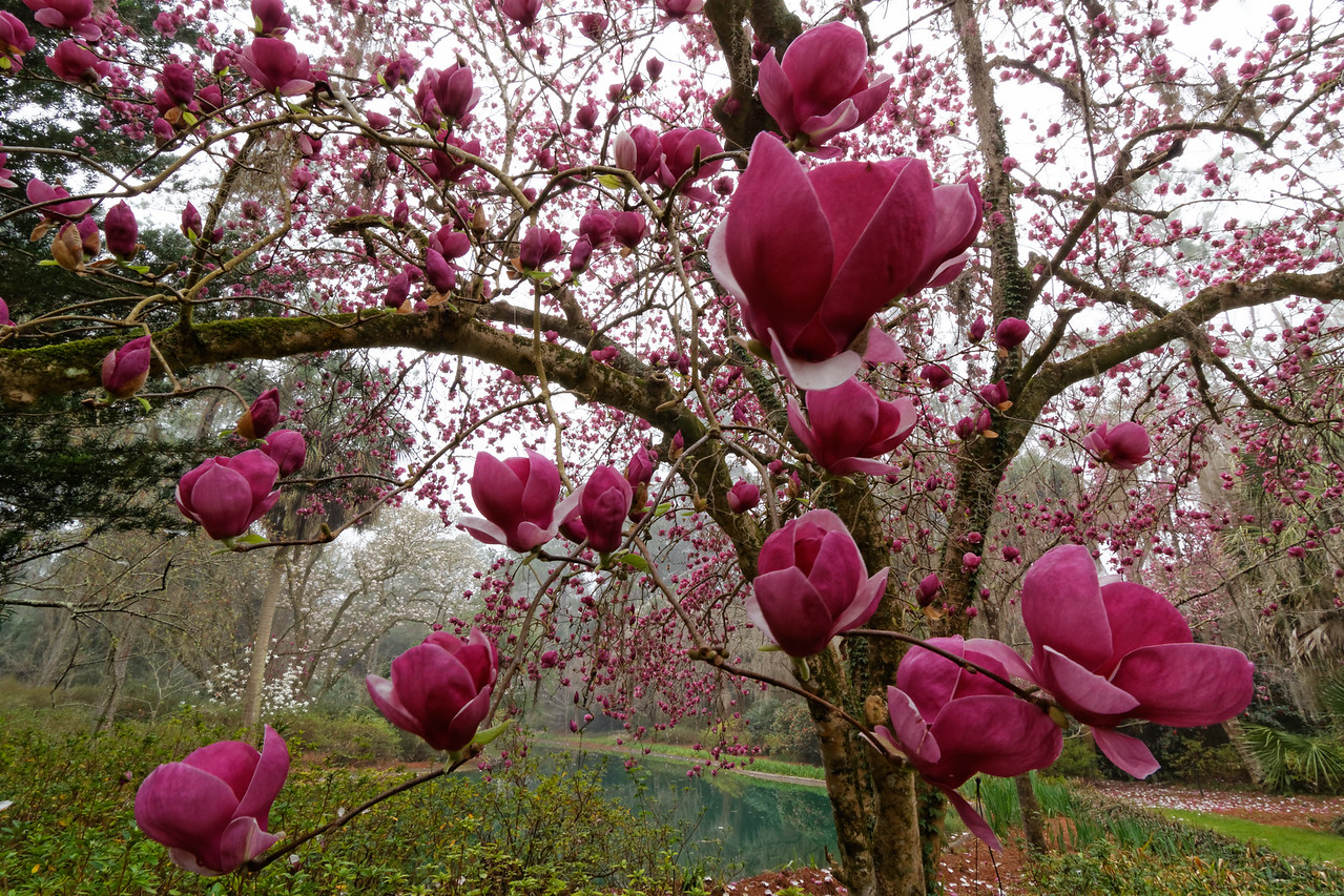 Oriental magnolia (Magnolia liliiflora) in spring bloom surrounding the Pond