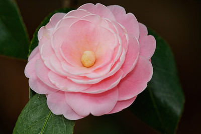 'Pink Perfection' (Camellia japonica)