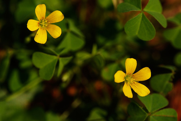 Common yellow oxalis (Oxalis stricta)