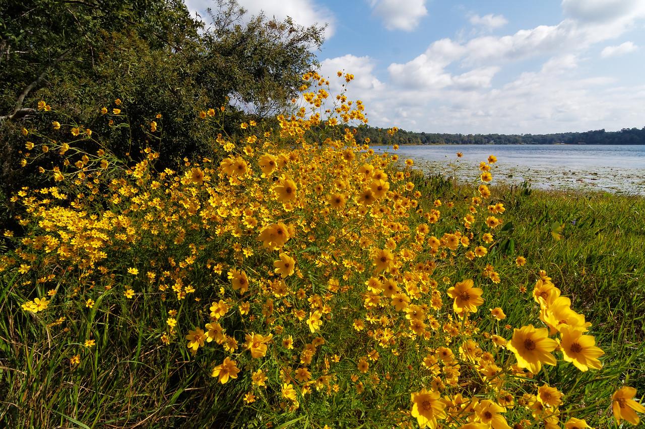 Bearded beggarticks (Bidens aristosa) bloom on the shore of Lake Hall
