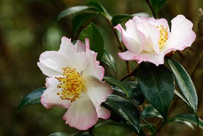 Camellia 'Narumigata' pair (Camellia sasanqua)