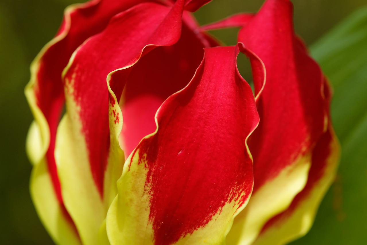 Flame lily (Gloriosa superba)