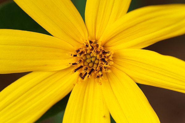 Hairy sunflower (Helianthus hirsutus)