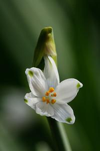 Spring snowflake (Leucojum vernum)