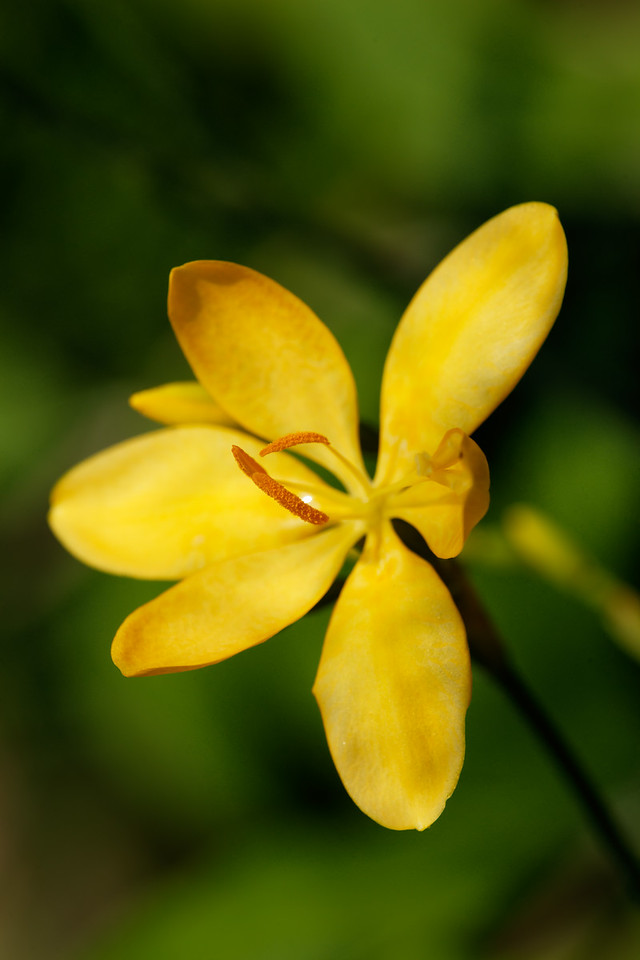 Blackberry lily (Belamcanda flabellata)