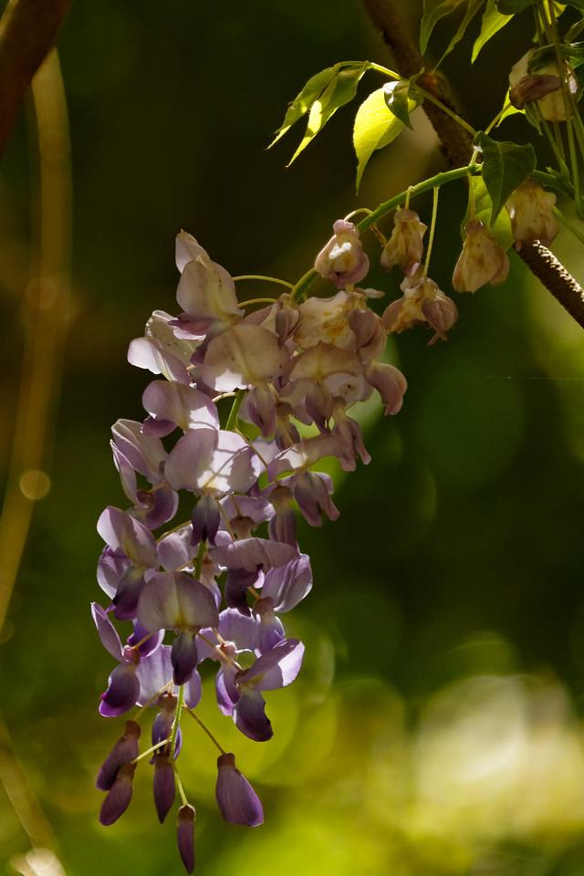 Chinese wisteria (Wisteria sinensis)