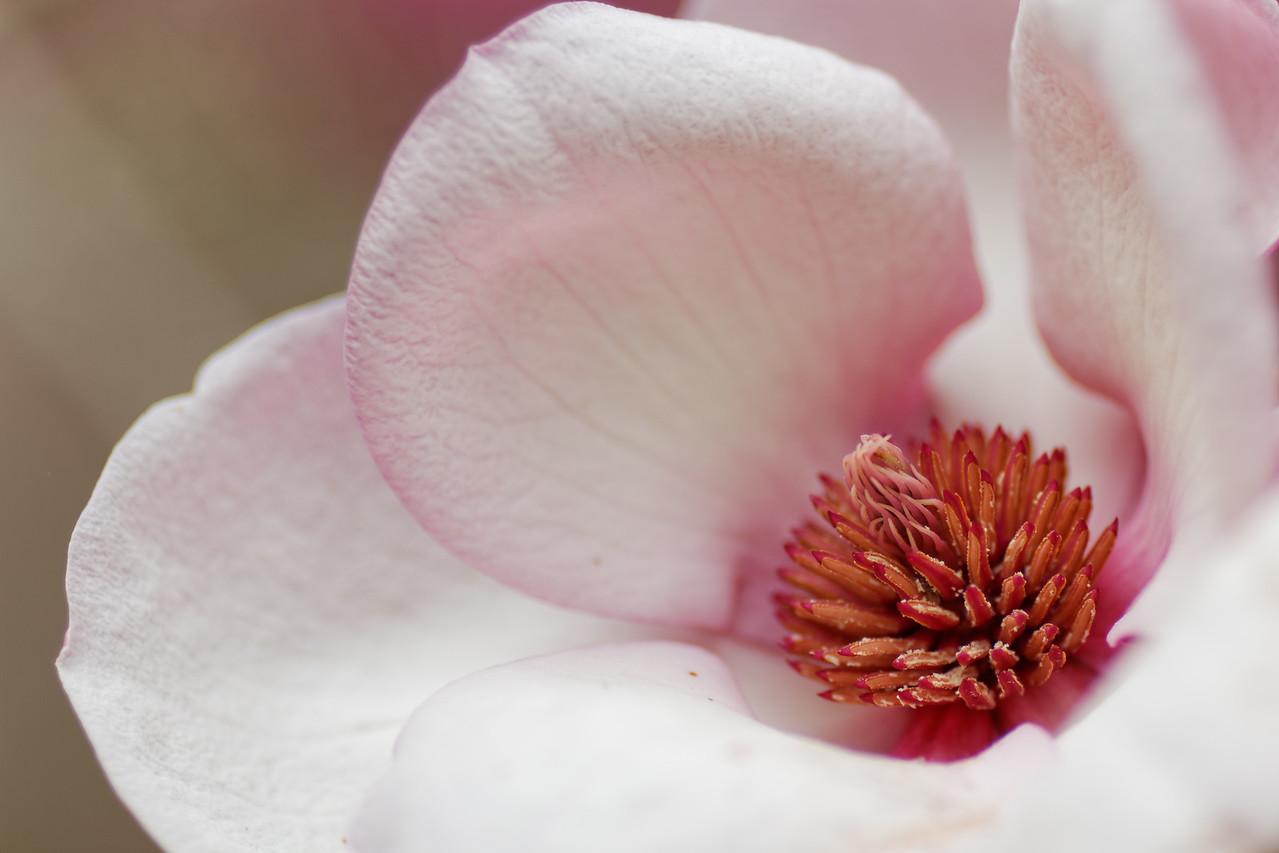 Magnolia × soulangiana (Magnolia denudata × Magnolia liliiflora)