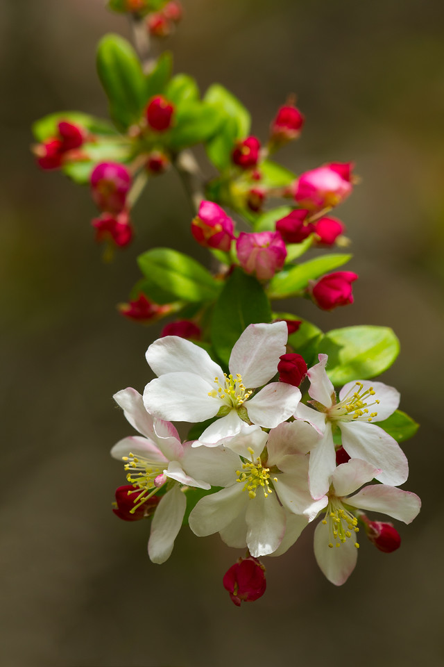 Flowering crabapple (Malus)