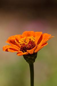 Orange zinnia (Zinnia)