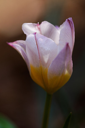 Lilac wonder (Tulipa saxatilis)