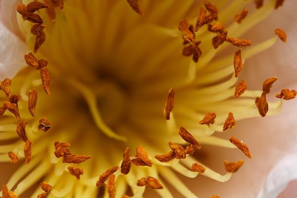 Camellia stamens (Camellia sasanqua)