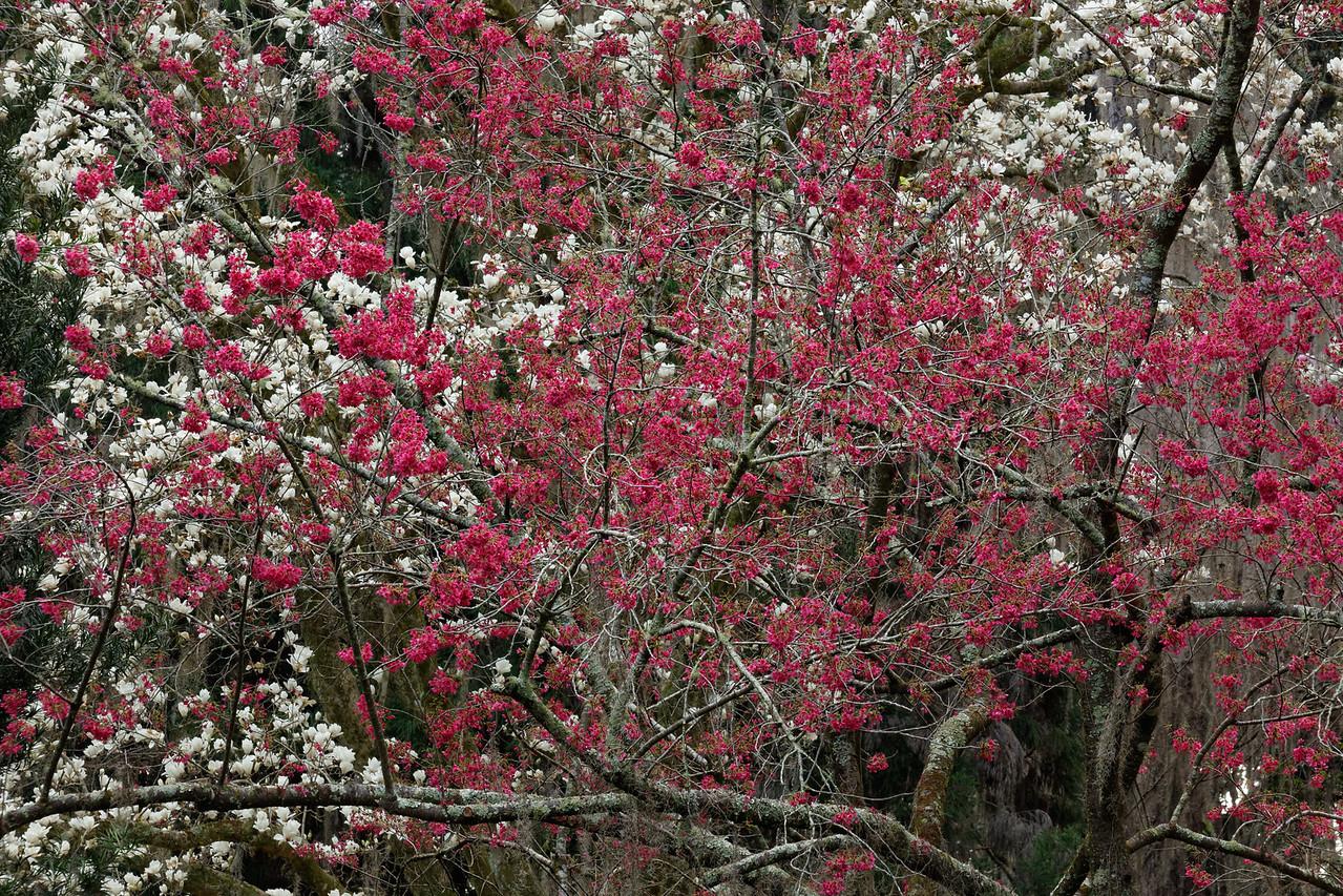 Magnolia × soulangiana (Magnolia denudata × Magnolia liliiflora) & taiwan Cherry (Prunus campanulata) trees in full bloom