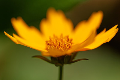 Lobed tickseed (Coreopsis auriculata)