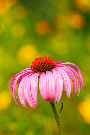 Pale purple cone-flower (Echinacea purpurea)
