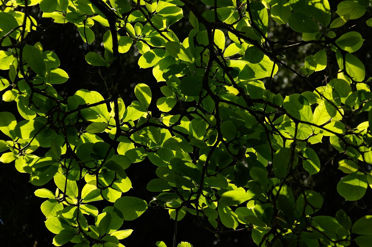 Oriental magnolia foliage
