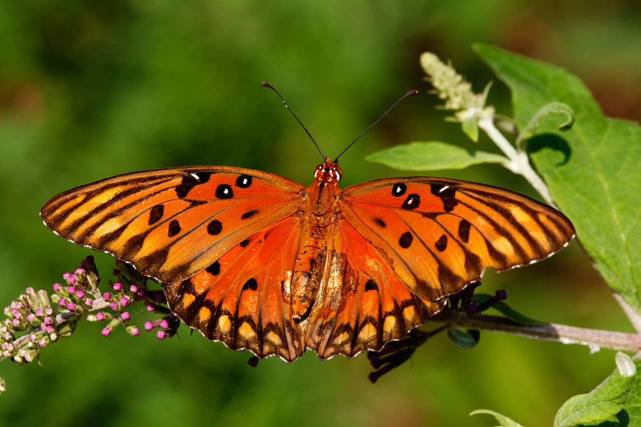 Gulf Fritillary butterfly (Agraulis vanillae) feeding on a budding butterfly bush (Buddleia davidii)