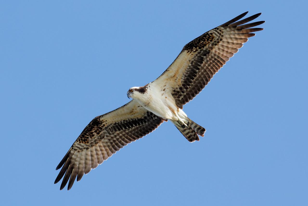 Osprey - Soars over the Gulf