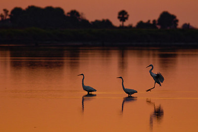 Great Egrets - A third bird joins a pair of great egrets in Stoney Bayou Pool No. 1