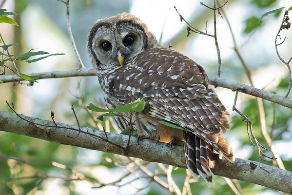 Barred Owl - Glances at the photographer before flying away