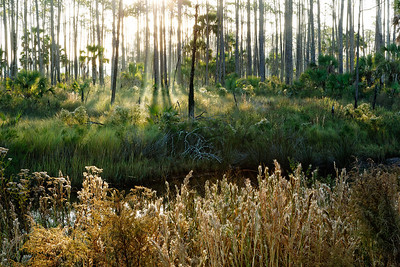 Bright Morning - Sun blasts through the pines and grasses