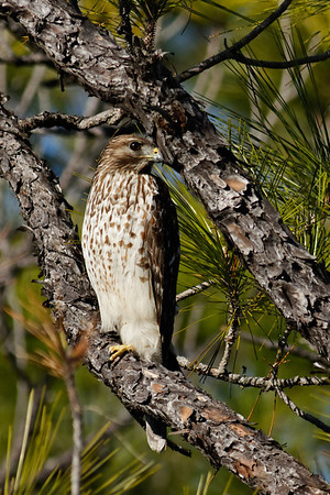 Cooper's Hawk (juvenile) - Scans the wetlands