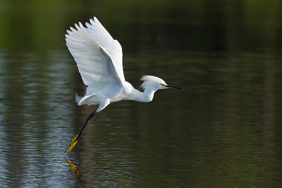 Snowy Egret - Takes off from Tower Pond
