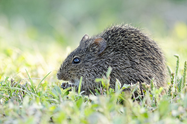 Hispid Cotton Rat - Feeds on grasses