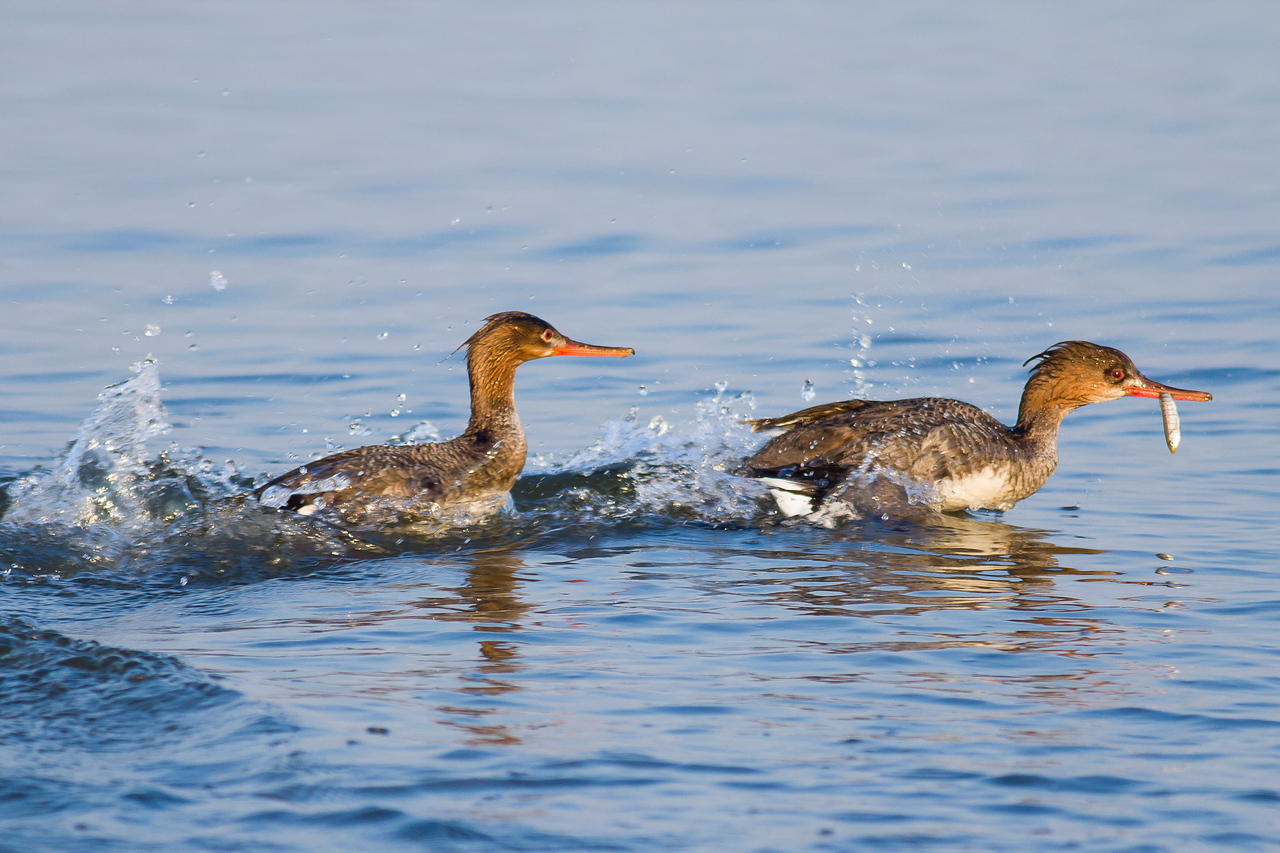 Juvenile Red-breasted Mergansers - Chase each other as they fish