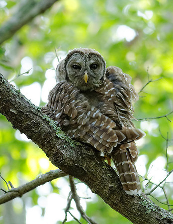 Barred Owl - Scratching with its wing