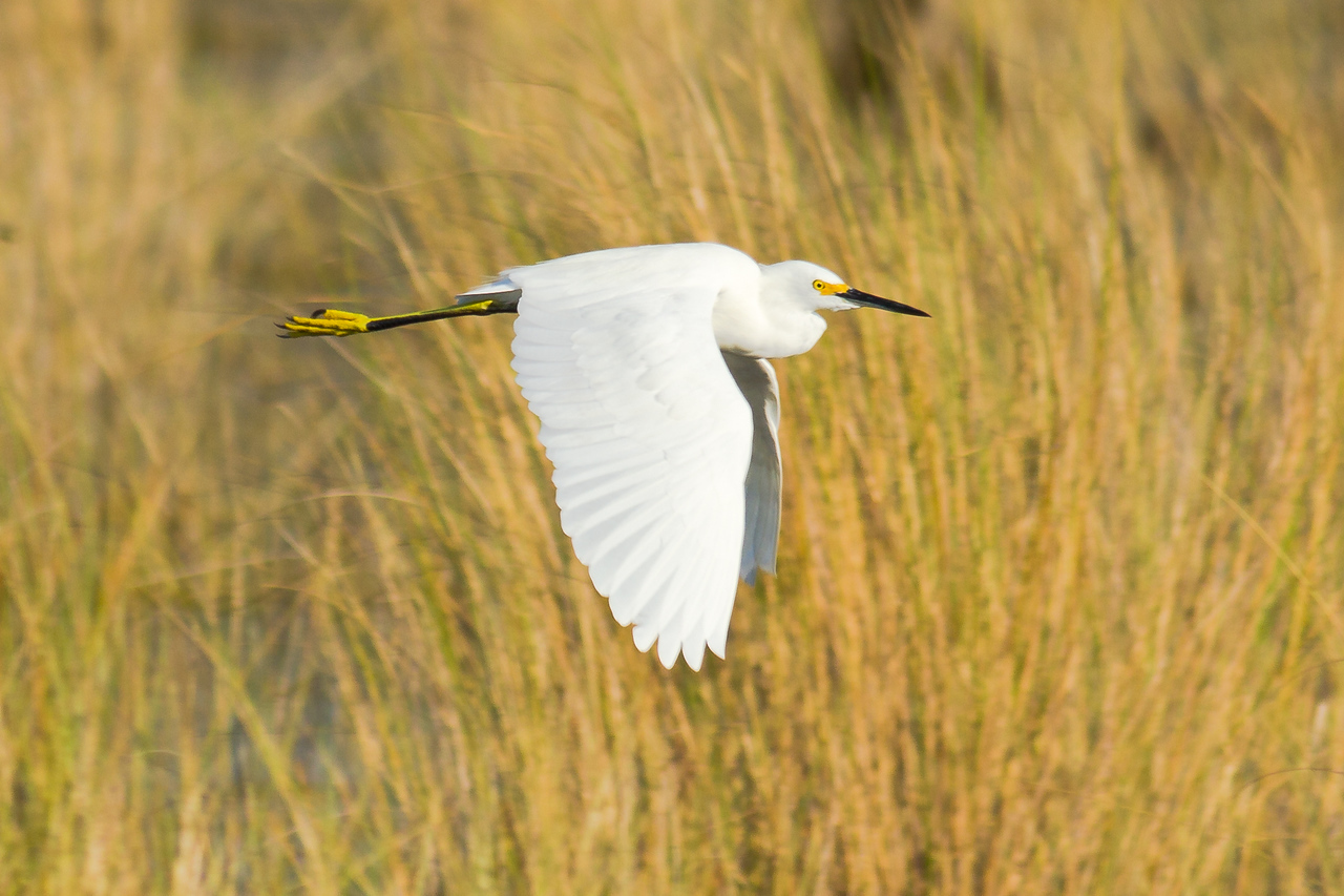 Snowy Egret - Flies over the grasses