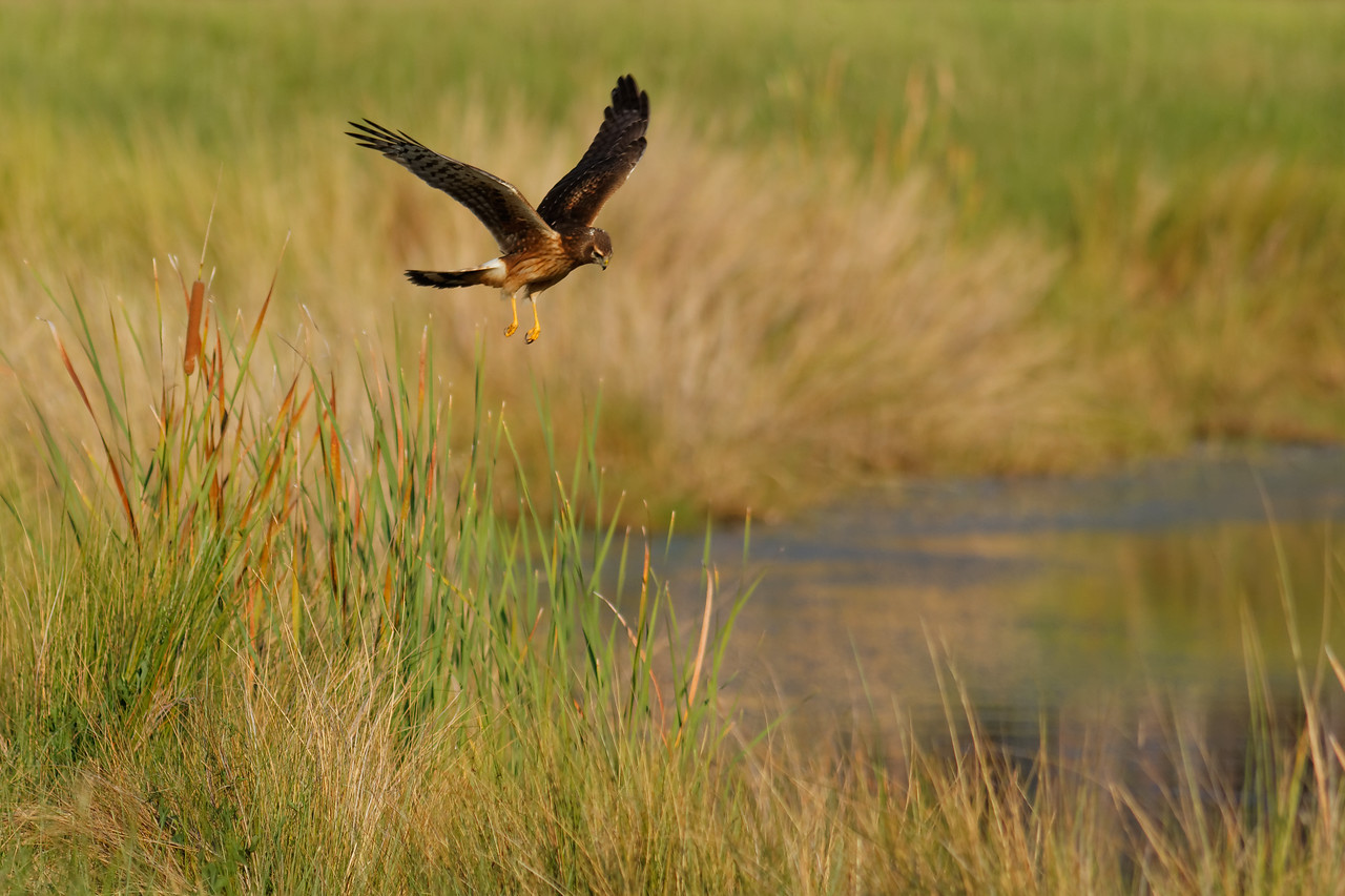 Northern Harrier - Hovers over a small mouse