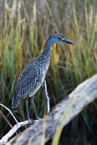 Night Heron - Out in the morning sun