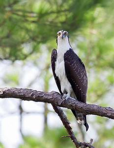Osprey - Stares at the photographer