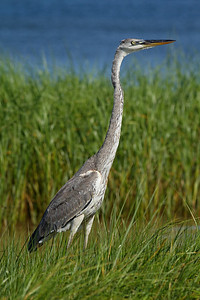 Great Blue Heron (juvenile) - Walks in the seagrasses along the Gulf