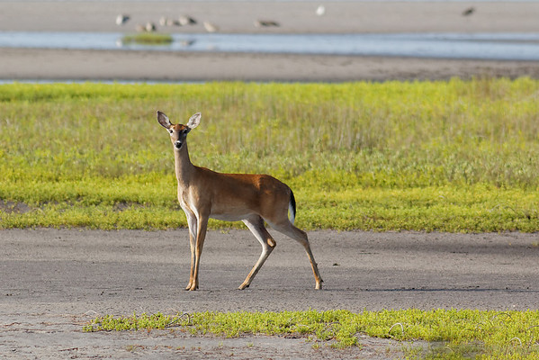 White-tailed Deer - Pauses out on the flats