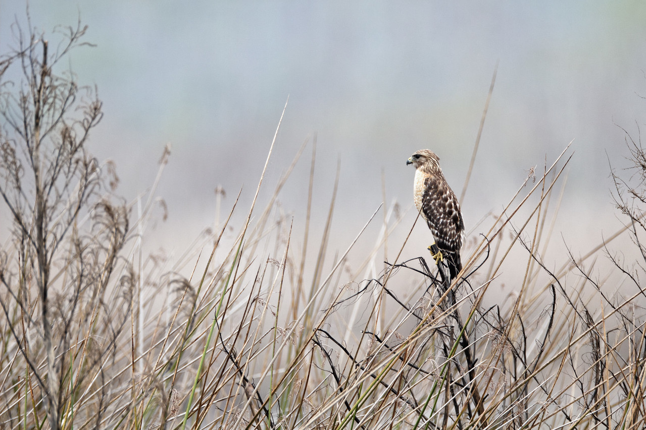 Red-shouldered Hawk - Stands watch over the marsh