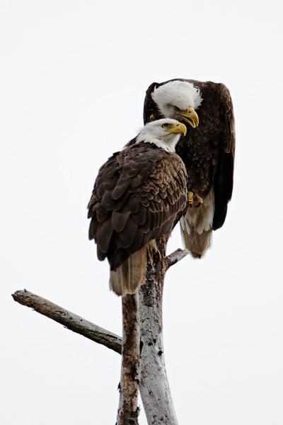 Bald Eagle - A pair of eagles socialize