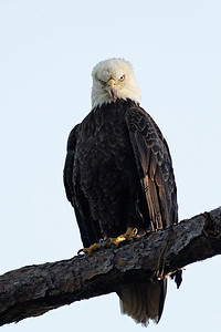 Bald Eagle - Stares at the photographer