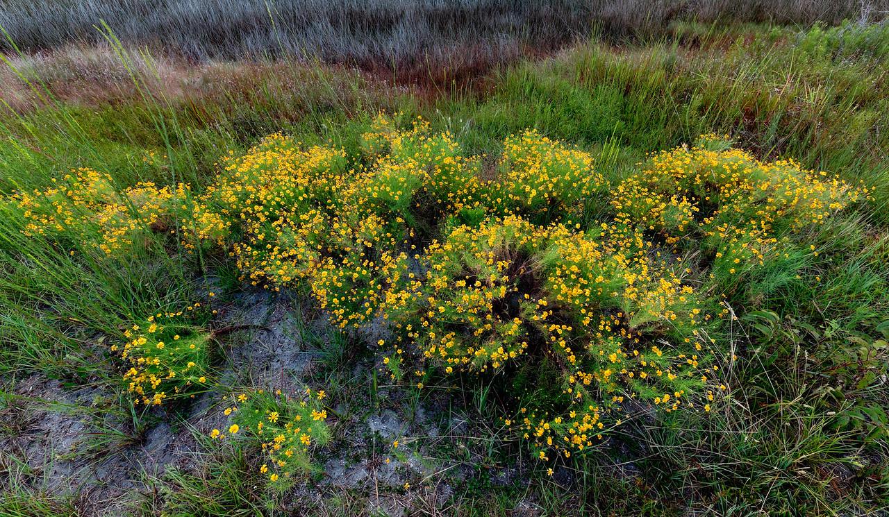 Lanceleaf tickseed - Blooms next to remnants of a prescribed fire