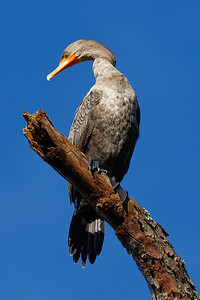 Double-crested Cormorant - Rests high atop its perch