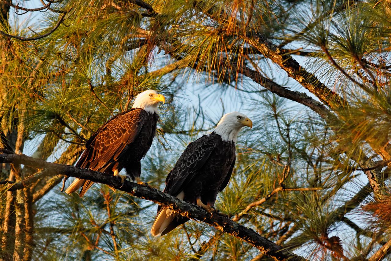 Bald Eagles - Enjoy the sun and shade of the morning sun