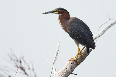 Tri-colored Heron - Rests by the river
