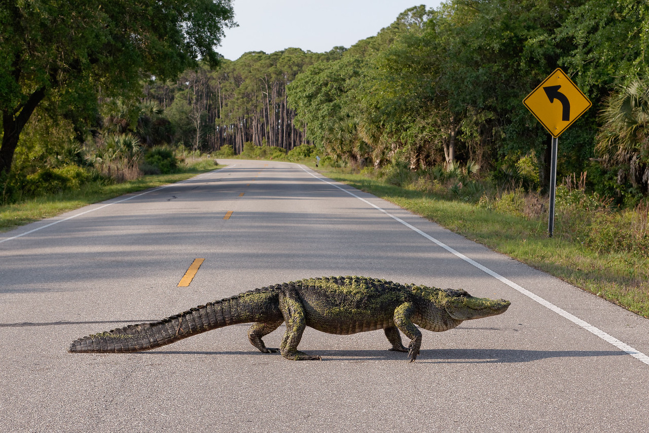 Gator Crossing - An 11' American alligator crosses the road