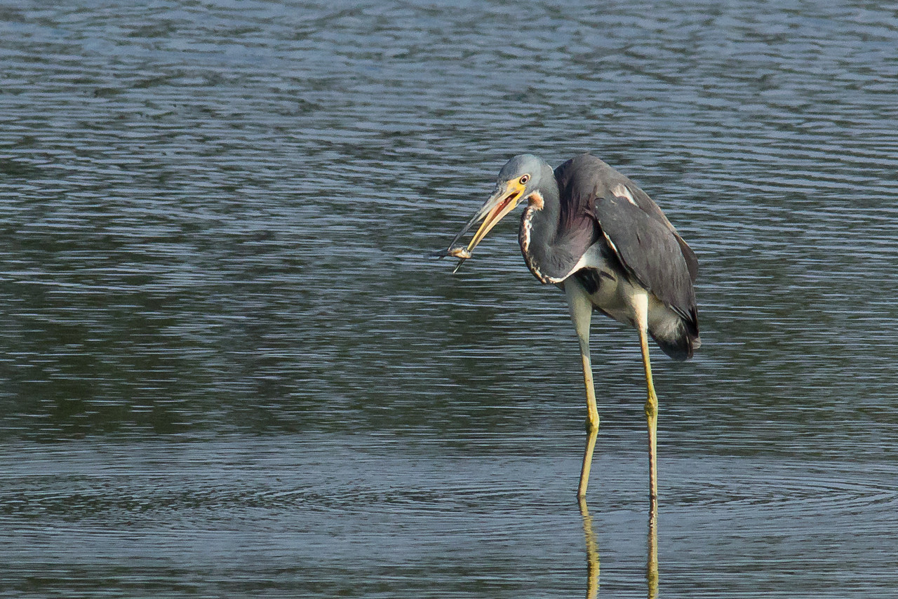 Tri-colored Heron - Holds a fish between its bill